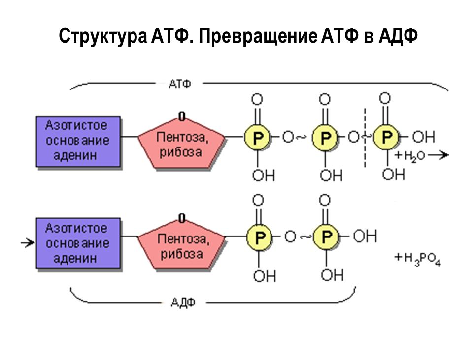 Структура АТФ