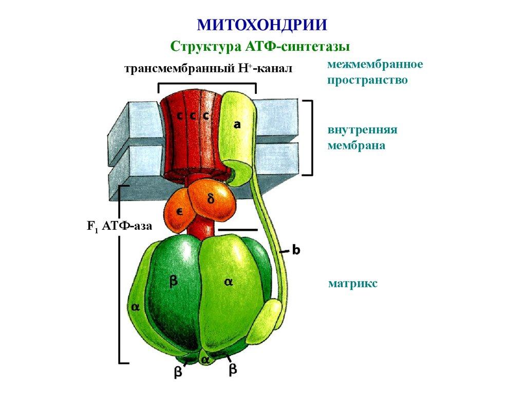 Структура АТФ-синтетазы
