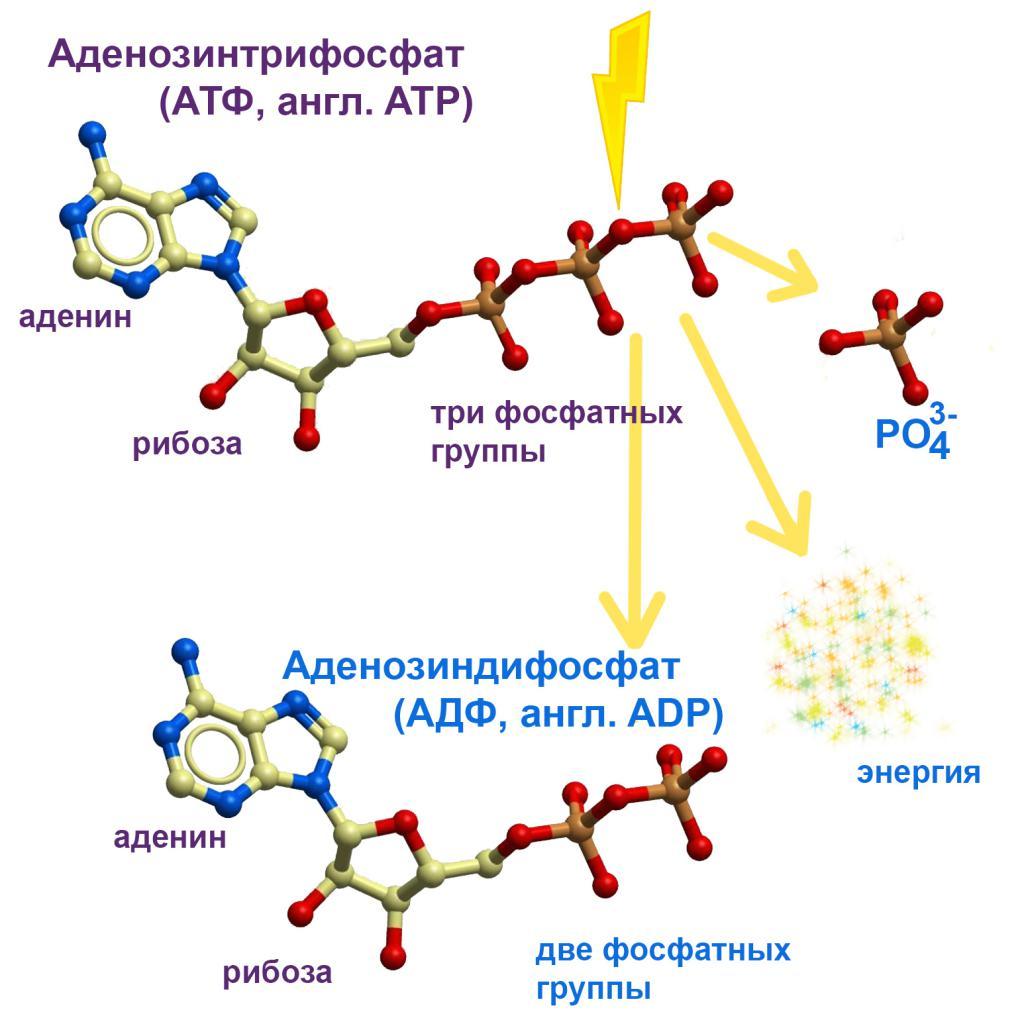 Какую функцию в клетке выполняет молекула атф