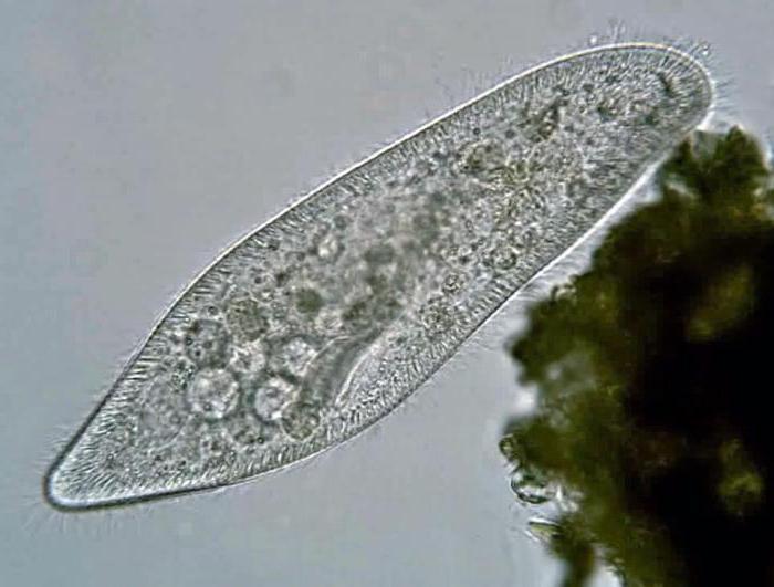 что относится к паразитам в организме