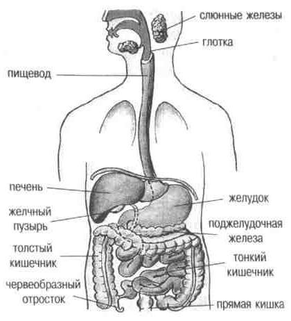 внутренние органы животных