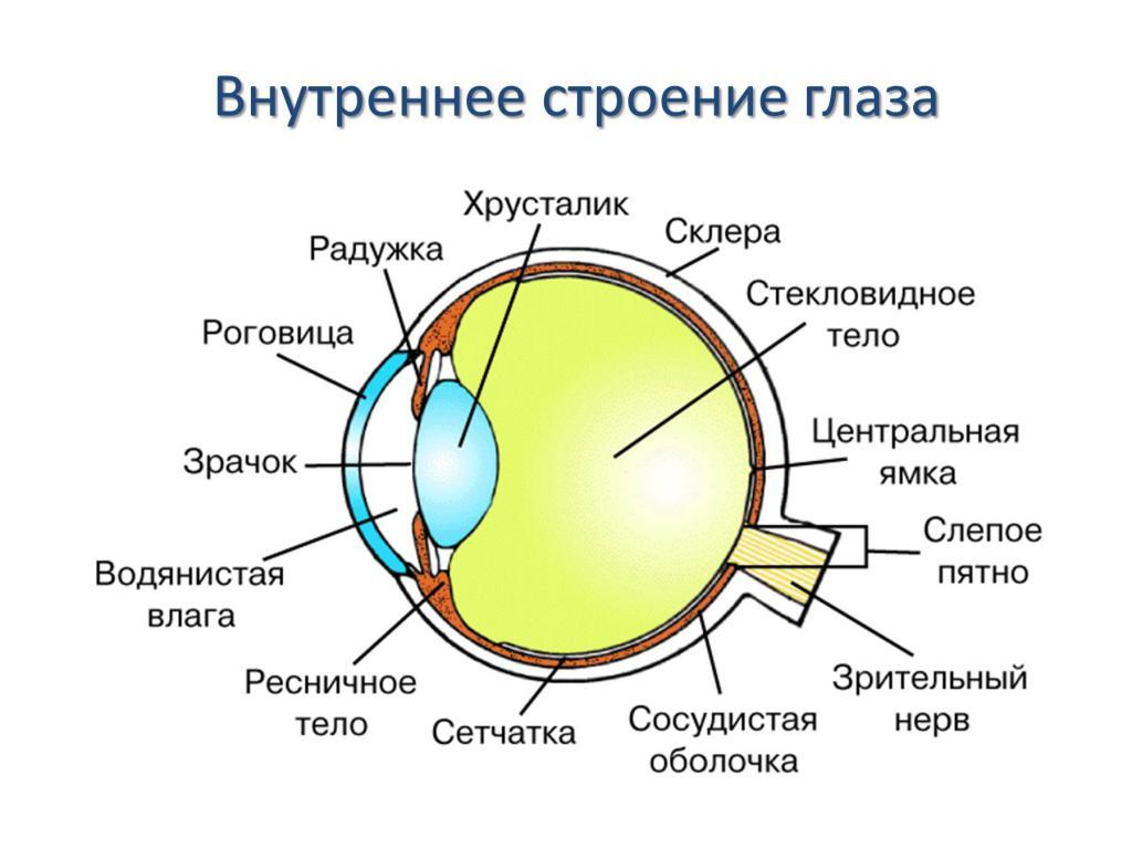 анатомия глаз в картинках искусно сыграет сентиментальную
