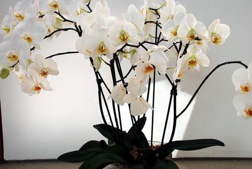 Чем удобрять орхидею в домашних