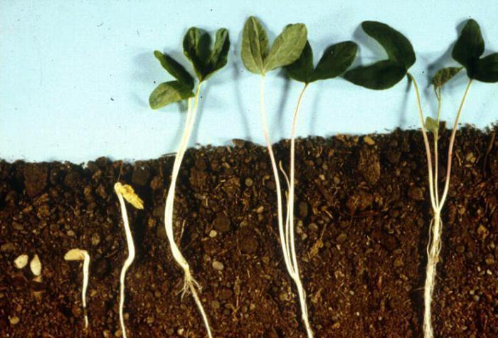 что такое побег у растений