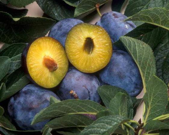 односемянные плоды примеры