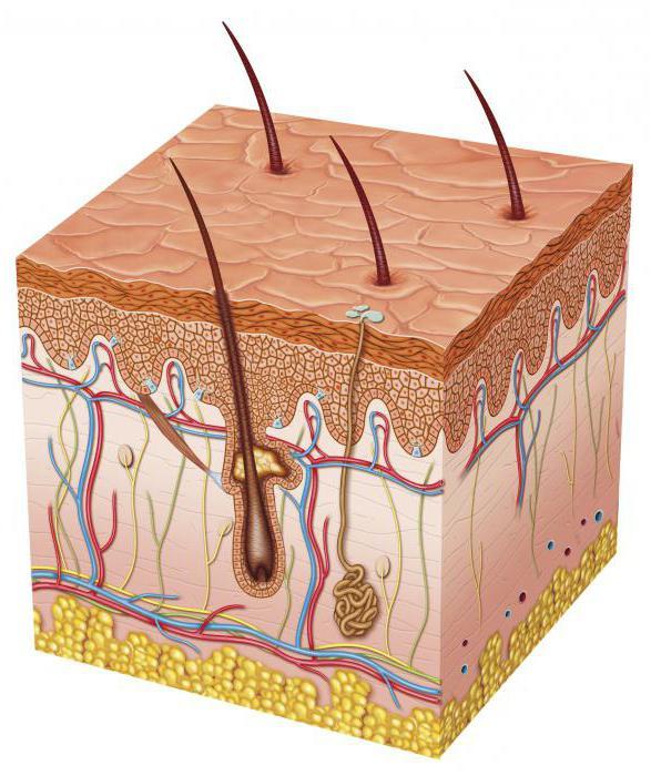 какова роль кожи в терморегуляции