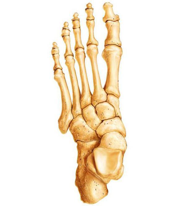 типы костей скелета