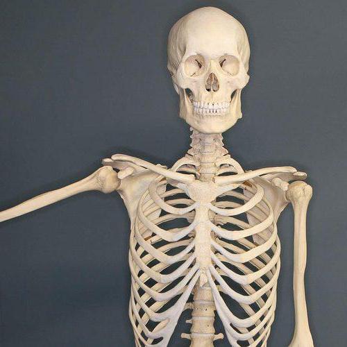 таблица типы костей