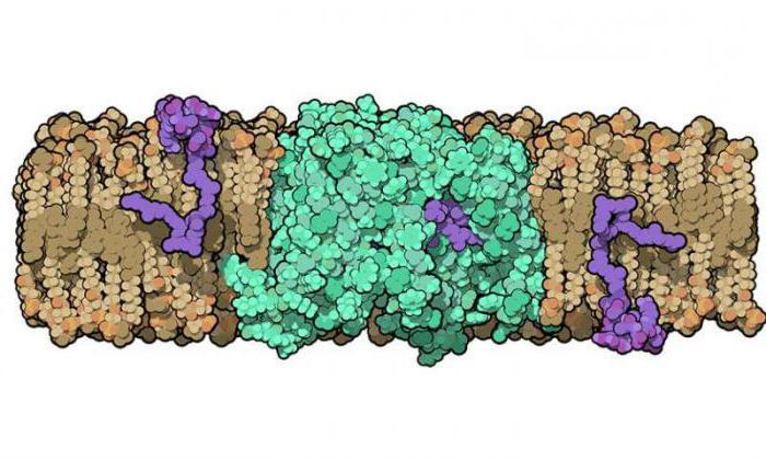 клетки бактерий отличаются от растительных клеток ответ