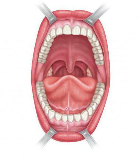 рисунок полости рта человека асад