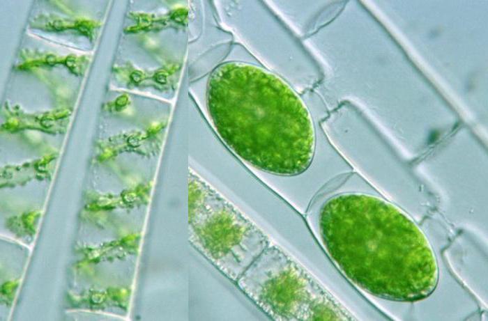 картинка улотриксовые водоросли эти данные
