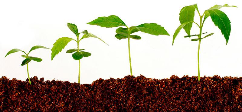 формирование взрослого растения из проростка