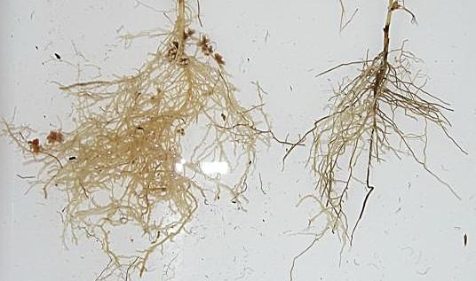 корневая система гороха посевного