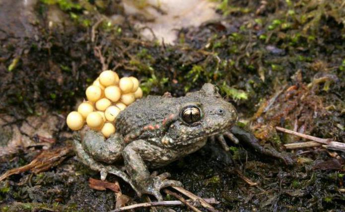 В марте - апреле у жаб-повитух проходят свадьбы