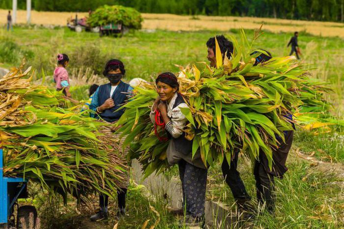 семена кукурузы компании маис