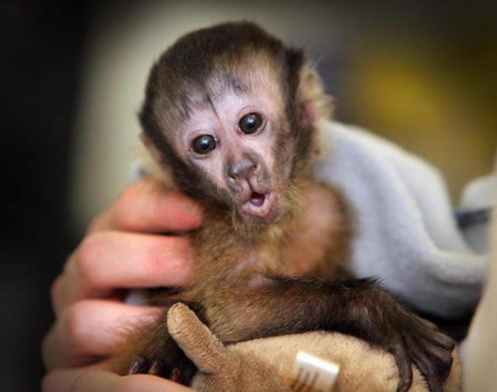 породы домашних обезьянок