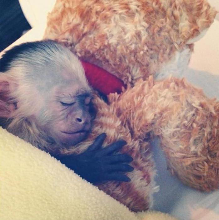 виды домашних обезьянок