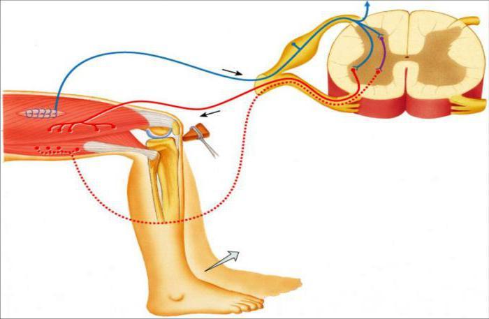 рефлекторная нервная дуга