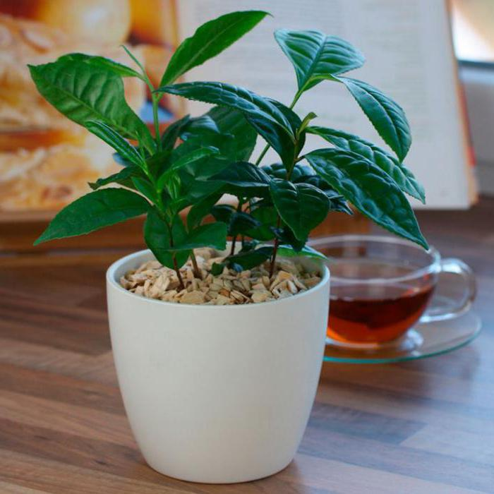 Камелия китайская чайная выращивание 699