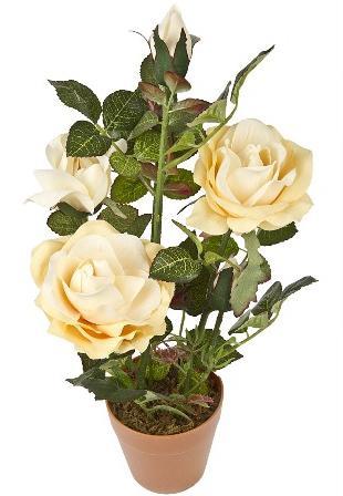Комнатный цветок или розовый