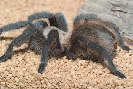 укус паука птицееда