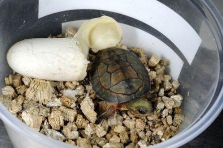 как размножаются водные черепахи