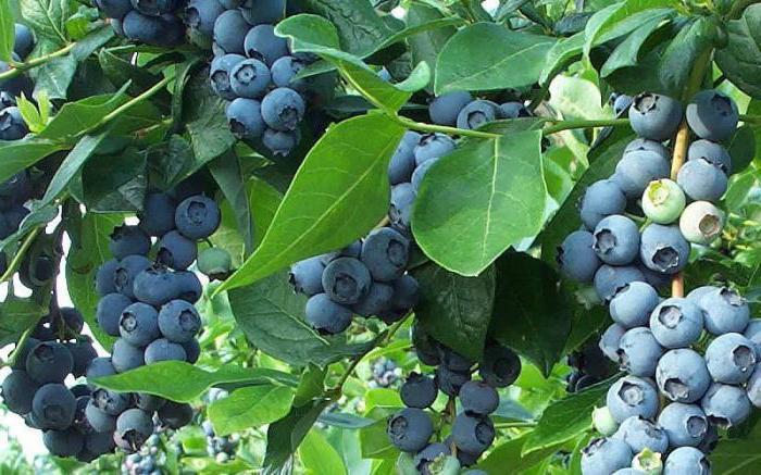 листья голубики польза
