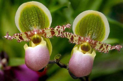 Башмачок крупноцветковый: описание растения, полезные свойства, применение в народной медицине, рецепты