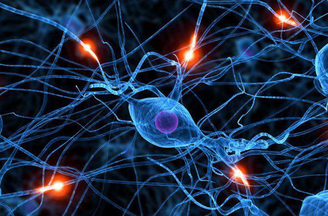 симпатический и парасимпатический отделы вегетативной нервной системы