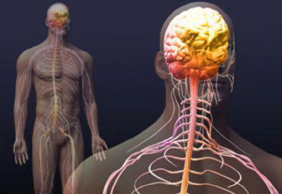симпатическую и парасимпатическую нервную систему