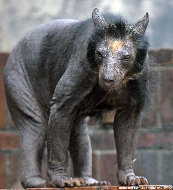 Фото голого лысого медведя 2 фотография