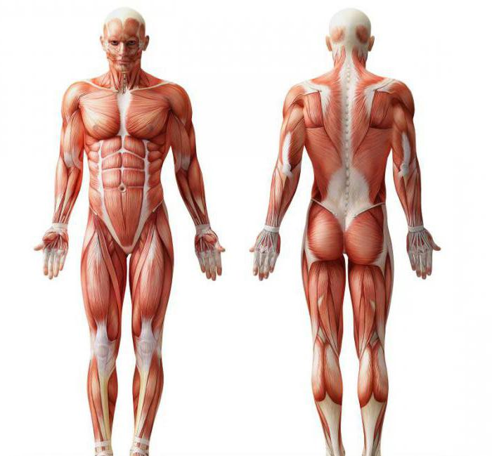 a study of physiology skeletal muscle of the human body Human anatomy and physiology comprehensive series the structure and function of skeletal muscle and neural tissue physiology is the study of body.