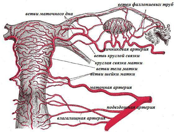 анатомия матки фото