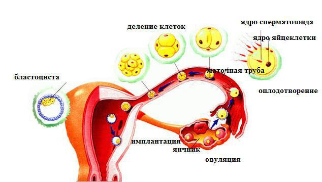 анатомия матки и маточных труб