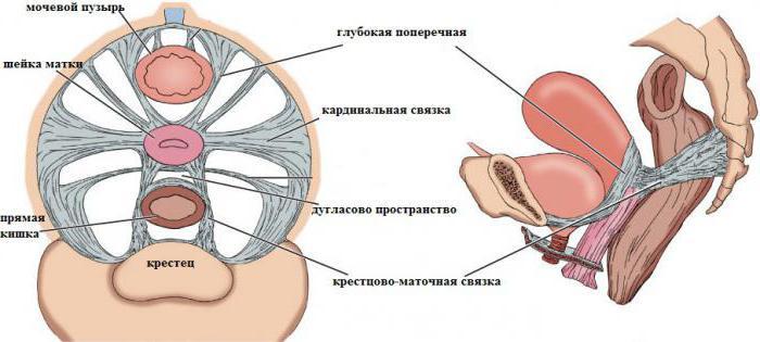 матка строение анатомия