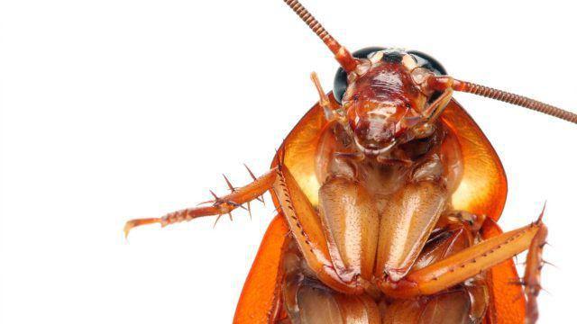 кусаются ли тараканы рыжие