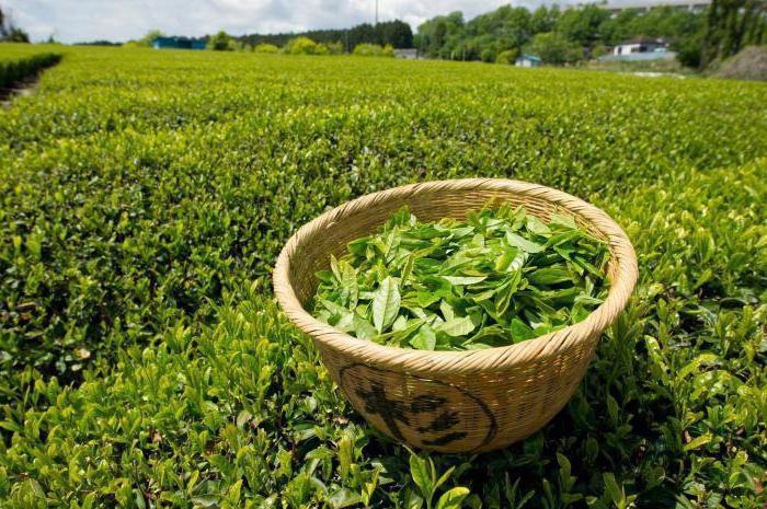 зеленый чай польза и вред для женщины