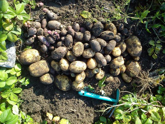К чему снится садить картошку в землю