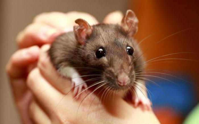 конечного укус крысы во сне Sivera Sivera