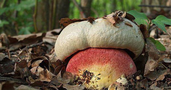 грибы в красной книге россии фото и названия
