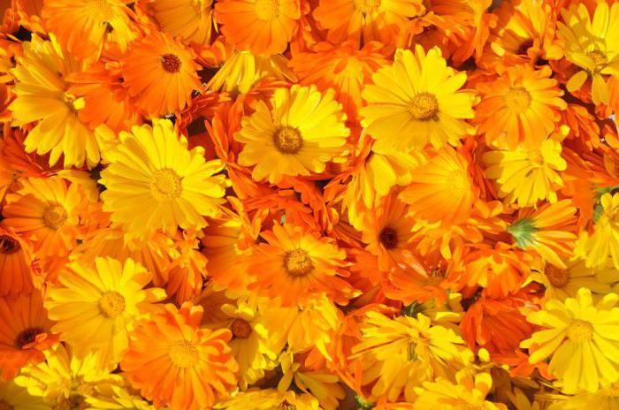 Календула: лечебные свойства и противопоказания, отзывы, рецепты