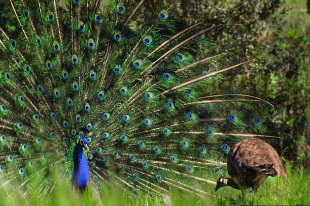 Female and male peacock