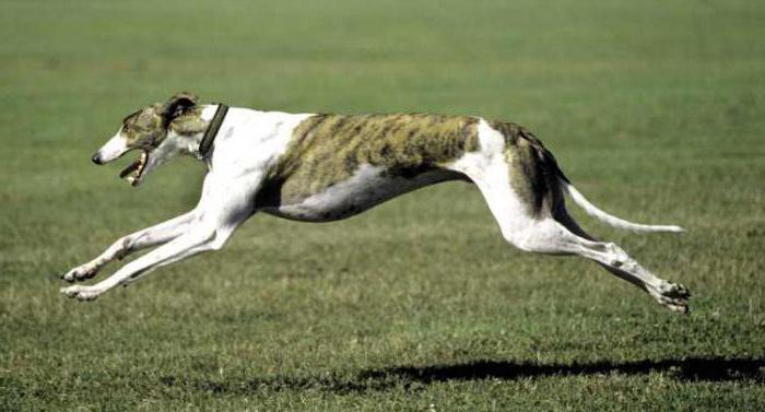 самые бысÑ'рые собаки в мире