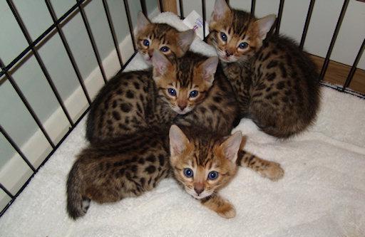 котята саванны фото