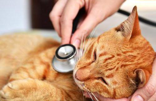 пневмония у кошки