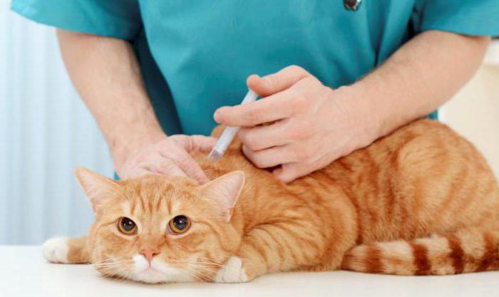 пневмония у кошек симптомы