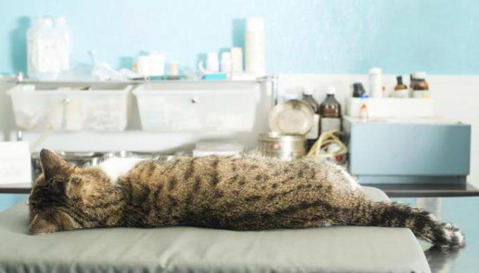 двухсторонняя пневмония у кошек
