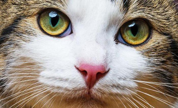 герпес у кошек