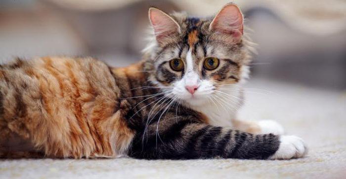 вирус герпеса у кошек