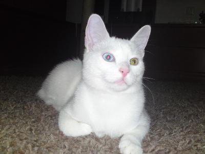анатолийская порода кошек